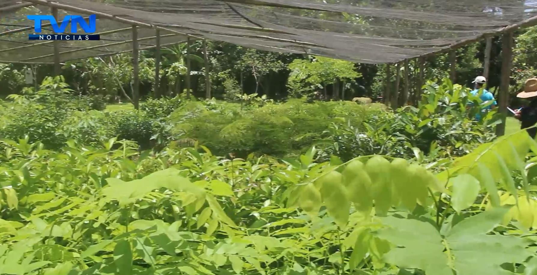 Empresa piñera se propuso a reforestar los cantones de Upala y Guatuso
